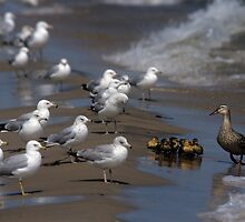 Ducklings and Mother Confronted by Seagulls by John  Harmon