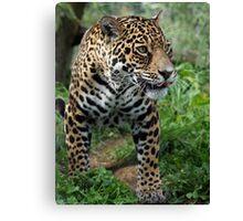 Athena the Jaguar Canvas Print