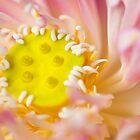 Tender Lotus, Thailand by lgraham