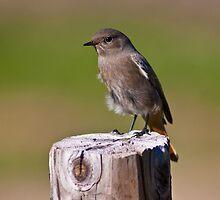 Female black redstart (Phoenicurus ochruros) by Gabor Pozsgai
