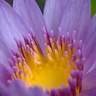 Water Lily in Purple by lgraham