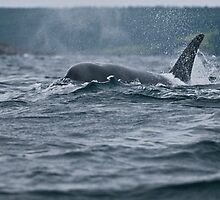 Orca 2 at Newfoundland, Canada by Raymond J Barlow