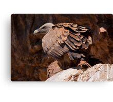 Griffon Vulture (Gyps fulvus) Canvas Print