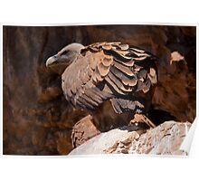 Griffon Vulture (Gyps fulvus) Poster