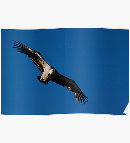 Griffon Vulture (Gyps fulvus) in flight Poster