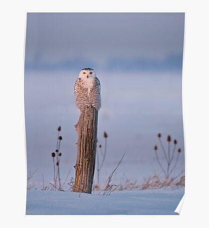 Snowy Owl on a Post - Arthur Ontario, Canada Poster