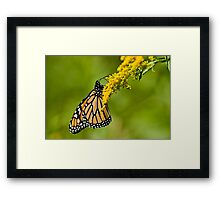 Monarch Butterfly - 36 Framed Print