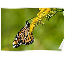 Monarch Butterfly - 36 Poster