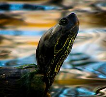 Barton Springs Turtle by Sara Wilcox