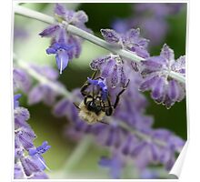 Bee on Lavender - Dunrobin Ontario Poster