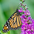 Monarch Butterfly - 37 by Michael Cummings