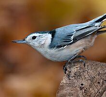 White-Breasted Nuthatch by (Tallow) Dave  Van de Laar