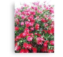 Callistemon 1 Canvas Print
