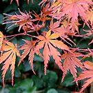 Japanese Maple Encore by Patty Boyte