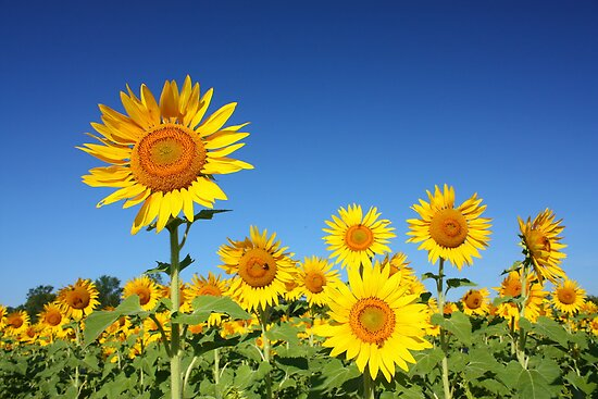 Sunflower Field by Rachel Stickney