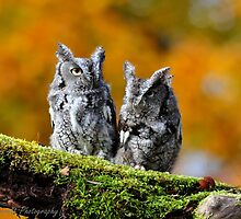 Eastern Screech Owl Pair by Nancy Barrett