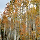 Fall Aspens by Marc McDonald