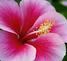 Pink Hibiscus by Rachel Stickney