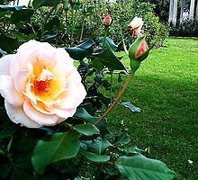 Peach-Yellow Rose by SylviaS