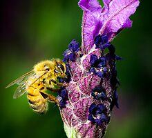 ...oh, lavender... by Geoffrey Dunn