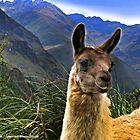 A Llama In The Cajas In Ecuador by Al Bourassa