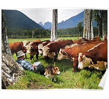 """quality time""   flagstaff hereford stud, nz Poster"