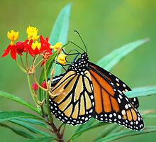 Monarch on Tropical Milkweed by Janice McCafferty