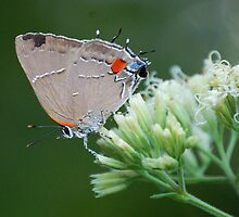 Oak Hairstreak by Janice McCafferty