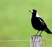 Magpie on fence post by pgmarsh