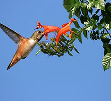 Hummingbird Feeding On Honeysuckle by DARRIN ALDRIDGE