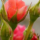 Pink Roses in the rain, Lyme Dorset UK by lynn carter