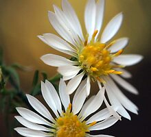 Daisy Duo by Renee Blake