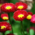 Red Daisies by Joanne Emery
