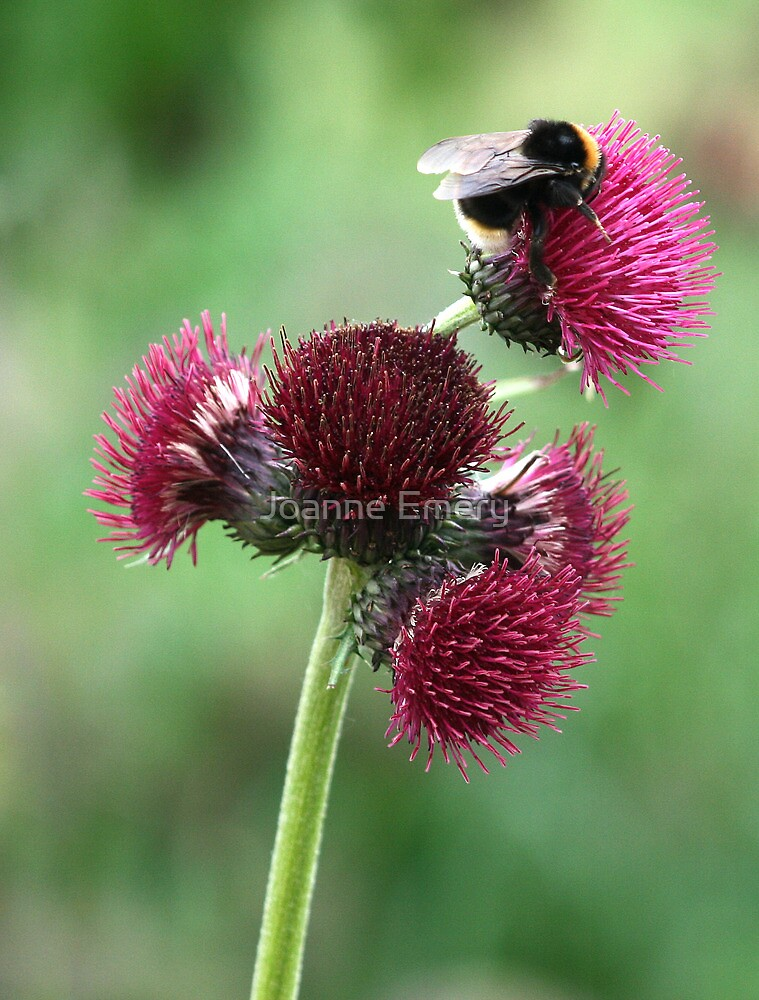 Bumble bee on thistle by Joanne Emery