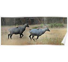 Blue bulls or Nilgai of India Poster