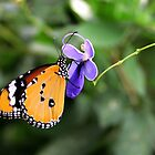 Plain Tiger - Danaus chrysippus by Lepidoptera