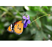 Plain Tiger - Danaus chrysippus Photographic Print