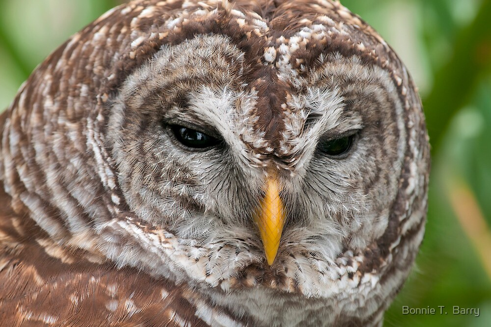 Barred Owl at Close Range by Bonnie T.  Barry