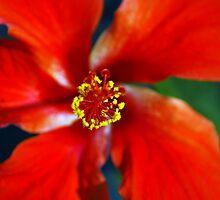 Belizean Red by Adam Kalidonis