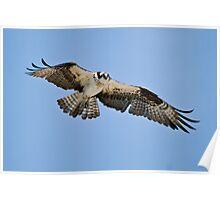 Osprey - Ontario Canada Poster