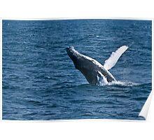 Humpback Whale - Newfoundland, Canada Poster