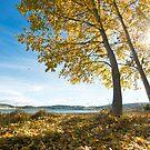 Yellow poplar in Autumn sunshine by João Almeida