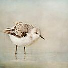 Sanderling by bettywiley