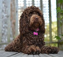 Coco the Cockapoo by Oliver Lucas