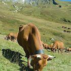 Milk Cows, Vallee des Glaciers by Skye Hohmann