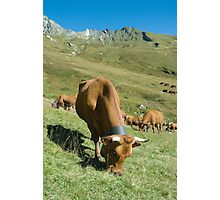 Milk Cows, Vallee des Glaciers Photographic Print