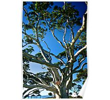 Ancient Moreton Bay Fig Tree Poster