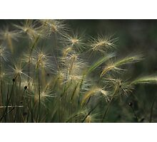 Foxtail Barley Photographic Print