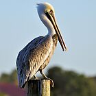 Brown Pelican by Jeff Ore