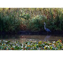 Swamp and the Heron Photographic Print